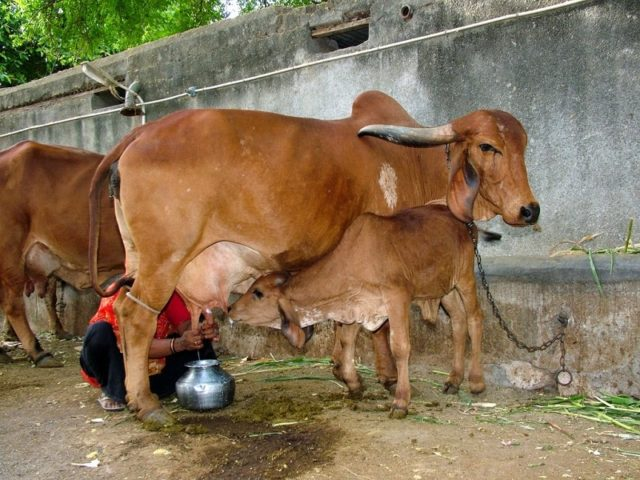 gir cow, gir cow farming, gir cow information, gir cow milk yield, gir cow milk benefits, gir cow ghee, gir cow price, desi cow, gir cow color, gir cow milk yield, gir cow benefits, gir cow calf,