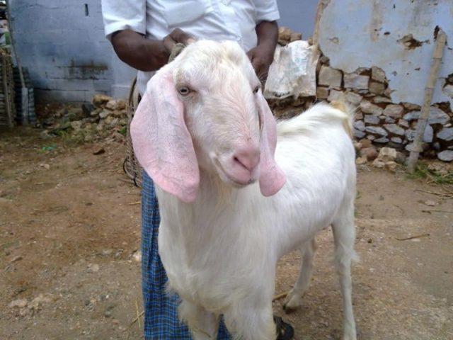 goat farming, tellicherry goat, Thalassery goat, Malabari goat, tellicherry kids, tellicherry kerala, tellicherry milk yield, tellicherry goat characteristics, goat shed, goat house