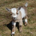 All About Pygmy goats, Pygmy goats, Pygmy goat facts, How to care for pygmy goats, Pygmy goat shed, Pygmy goat feeding schedule, Pygmies health, Breeding Pygmy Goats, Do pygmy goats make good pets, pygmy goat characteristics, How to choose Pygmy Goats, Whether Pygmy is good as a house pet, What to expect from Pygmy goat, How much do Pygmy goats cost, Brief characteristics of Pygmy goat, How big is pygmy goat, pygmy goat size, what do pygmy goats eat, pygmy goat food mix, pygmy goats care, keeping pygmy goats in your garden, Complete Guide to Raising Pygmy Goats for profit, How to Make Money Raising Pygmy Goats, raising pygmy goats, Physical characteristics of the Pygmy Goat, Production characteristics of the Pygmy Goat, pygmy goat milk yield, pygmy goat kidding, Advantages of Pygmy Goat,