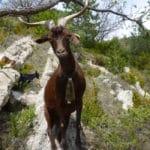 Rove goat, Rove goat characteristics, Physical characteristics of the Rove goat, Production characteristics of the Rove goat, Advantages of Rove Goat, characteristics of Rove goat, Rove goat color, Rove goat milk yield, Rove goat kidding, Rove goat cheese, rove goat breed, rove goat origin, rove goat weight, rove goat characteristics, Rove Brousse Goat Cheese, rove goat purpose, rove goat breed information,