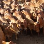 Sahiwal cow, Sahiwal cow price, Sahiwal cow milk production per day, Sahiwal cow image,pure Sahiwal cow, Sahiwal cow farm, information Sahiwal cow, Sahiwal cattle, sahiwal cow breed, sahiwal cattle weight, sahiwal cow disadvantages, Sahiwal cow milk per day, Sahiwal cow milk fat, Sahiwal cow milk price, Sahiwal cow milk yield per day, Sahiwal cow milk rate, Sahiwal cow milk record, Sahiwal cow milk type
