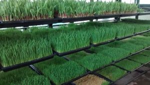 Hydroponic Fodder, Hydroponic Fodder System, Hydroponic Fodder system for 10 cows, How to grow Hydroponic Fodder, What kind of seed is used for Hydroponic Fodder, NUTRIENTS COMPARISON, Best Practices in growing Hydroponic fodder,Advantages of Hydroponics fodder, Hydroponic fodder disadvantages, Hydroponic Fodder for cattle, Hydroponic Fodder trays, maize Hydroponic Fodder, barley Hydroponic Fodder, Hydroponic Fodder for cows, fungus in Hydroponic Fodder, hydroponic green fodder, growing hydroponic green fodder, producing hydroponic green fodder, hydroponic green fodder production