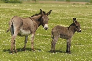 donkey, ass, mule, Difference between Donkey and Mule, Donkey Characteristics, Mule Facts, Donkey definitions,Donkey terms, Ass, asino, burro, hinny,jack, jenny, moke, molly, mule, mare, filly, colt, foal, gelding, rig, stallion, yearling, equidae, horse, donkey ass, donkey ass pic, donkey bitch ass,donkey vs ass, big donkey ass,ass is a donkey, donkey and ass, donkey or ass, is a donkey a ass, a donkey ass
