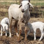 NARI suvarna sheep,Nari suvarna sheep in Karnataka,nari suvarna sheep for sale,nari suvarna sheep for sale in karnataka,growth performance of nari suvarna sheep under intensive system,reed with Multiple Births,