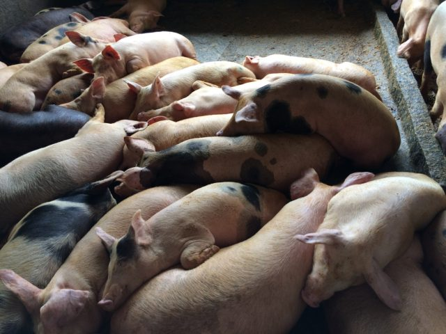 pig farming, pig farming business, commercial pig farming, commercial pig farming business, pig farming profit, pig, pig photo, pig picture,start pig farming