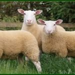 berrichon du cher sheep, about berrichon du cher sheep, berrichon du cher sheep appearance, berrichon du cher sheep breed, berrichon du cher sheep breed info, berrichon du cher sheep breed facts, berrichon du cher sheep care, caring berrichon du cher sheep, berrichon du cher sheep color, berrichon du cher sheep characteristics, berrichon du cher sheep coat color, berrichon du cher sheep development, berrichon du cher sheep ewes, berrichon du cher sheep facts, berrichon du cher sheep for meat, berrichon du cher sheep history, berrichon du cher sheep horns, berrichon du cher sheep info, berrichon du cher sheep images, berrichon du cher sheep lambs, berrichon du cher sheep meat, berrichon du cher sheep origin, berrichon du cher sheep photos, berrichon du cher sheep pictures, berrichon du cher sheep rarity, berrichon du cher sheep rearing, raising berrichon du cher sheep, berrichon du cher sheep size, berrichon du cher sheep temperament, berrichon du cher sheep uses, berrichon du cher sheep varieties, berrichon du cher sheep weight, berrichon du cher sheep wool