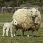 cheviot sheep, about cheviot sheep, cheviot sheep appearance, cheviot sheep breed, cheviot sheep breed info, cheviot sheep breed facts, cheviot sheep behavior, cheviot sheep care, caring cheviot sheep, cheviot sheep color, cheviot sheep characteristics, cheviot sheep coat color, cheviot sheep development, cheviot sheep ewes, cheviot sheep facts, cheviot sheep for meat, cheviot sheep for wool, cheviot sheep farms, cheviot sheep farming, cheviot sheep history, cheviot sheep horns, cheviot sheep info, cheviot sheep images, cheviot sheep lambs, cheviot sheep lambing, cheviot sheep meat, cheviot sheep origin, cheviot sheep photos, cheviot sheep pictures, cheviot sheep rarity, raising cheviot sheep, cheviot sheep rearing, cheviot sheep size, cheviot sheep temperament, cheviot sheep tame, cheviot sheep uses, cheviot sheep varieties, cheviot sheep weight, cheviot sheep wool, cheviot sheep wool production, cheviot sheep wool quality