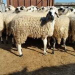 chios sheep, about chios sheep, chios sheep appearance, chios sheep breed, chios sheep breed info, chios sheep breed facts, chios sheep behavior, chios sheep care, caring chios sheep, chios sheep color, chios sheep characteristics, chios sheep development, chios sheep ewes, chios sheep facts, chios sheep for milk, chios sheep for meat, chios sheep history, chios sheep horns, chios sheep info, chios sheep images, chios sheep lambs, chios sheep meat, chios sheep milk, chios sheep origin, chios sheep photos, chios sheep pictures, chios sheep rarity, chios sheep rearing, raising chios sheep, chios sheep size, chios sheep temperament, chios sheep tame, chios sheep uses, chios sheep varieties, chios sheep weight, chios sheep wool