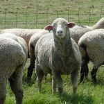 columbia sheep, about columbia sheep, columbia sheep appearance, columbia sheep breed, columbia sheep breed info, columbia sheep breed facts, columbia sheep behavior, columbia sheep care, caring columbia sheep, columbia sheep color, columbia sheep characteristics, columbia sheep coat color, columbia sheep color varieties, columbia sheep development, columbia sheep ewes, columbia sheep facts, columbia sheep for meat, columbia sheep for wool, columbia sheep farms, columbia sheep history, columbia sheep horns, columbia sheep info, columbia sheep images, columbia sheep lambs, columbia sheep meat, columbia sheep origin, columbia sheep photos, columbia sheep pictures, columbia sheep rarity, columbia sheep rearing, raising columbia sheep, columbia sheep size, columbia sheep temperament, columbia sheep tame, columbia sheep uses, columbia sheep varieties, columbia sheep weight, columbia sheep wool, columbia sheep wool quality