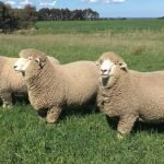 corriedale sheep, about corriedale sheep, corriedale sheep appearance, corriedale sheep breed, corriedale sheep breed info, corriedale sheep breed facts, corriedale sheep care, caring corriedale sheep, corriedale sheep color, corriedale sheep characteristics, corriedale sheep development, corriedale sheep ewes, corriedale sheep facts, corriedale sheep for meat, corriedale sheep for wool, corriedale sheep farms, corriedale sheep farming, corriedale sheep history, corriedale sheep horns, corriedale sheep info, corriedale sheep images, corriedale sheep lambs, corriedale sheep meat, corriedale sheep origin, corriedale sheep photos, corriedale sheep pictures, corriedale sheep rarity, raising corriedale sheep, corriedale sheep rearing, corriedale sheep size, corriedale sheep temperament, corriedale sheep tame, corriedale sheep uses, corriedale sheep varieties, corriedale sheep weight, corriedale sheep wool, corriedale sheep wool production, corriedale sheep meat production
