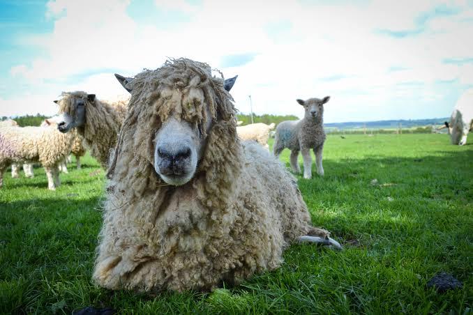 cotswold sheep, about cotswold sheep, cotswold sheep appearance, cotswold sheep breed, cotswold sheep breed info, cotswold sheep breed facts, cotswold sheep care, caring cotswold sheep, cotswold sheep color, cotswold sheep characteristics, cotswold sheep development, cotswold sheep ewes, cotswold sheep facts, cotswold sheep for meat, cotswold sheep for wool, cotswold sheep farms, cotswold sheep farming, cotswold sheep history, cotswold sheep horns, cotswold sheep info, cotswold sheep images, cotswold sheep lambs, cotswold sheep meat, cotswold sheep origin, cotswold sheep photos, cotswold sheep pictures, cotswold sheep rarity, raising cotswold sheep, cotswold sheep rearing, cotswold sheep size, cotswold sheep temperament, cotswold sheep tame, cotswold sheep uses, cotswold sheep varieties, cotswold sheep weight, cotswold sheep wool
