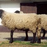 Criollo sheep, about Criollo sheep, Criollo sheep appearance, Criollo sheep breed, Criollo sheep breed info, Criollo sheep breed facts, Criollo sheep care, caring Criollo sheep, Criollo sheep color, Criollo sheep characteristics, Criollo sheep development, Criollo sheep ewes, Criollo sheep facts, Criollo sheep for meat, Criollo sheep for wool, Criollo sheep farms, Criollo sheep farming, Criollo sheep history, Criollo sheep horns, Criollo sheep info, Criollo sheep images, Criollo sheep lambs, Criollo sheep meat, Criollo sheep origin, Criollo sheep photos, Criollo sheep pictures, Criollo sheep rarity, raising Criollo sheep, Criollo sheep rearing, Criollo sheep size, Criollo sheep temperament, Criollo sheep tame, Criollo sheep uses, Criollo sheep varieties, Criollo sheep weight, Criollo sheep wool