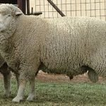 Debouillet sheep, about Debouillet sheep, Debouillet sheep appearance, Debouillet sheep breed, Debouillet sheep breed info, Debouillet sheep breed facts, Debouillet sheep care, caring Debouillet sheep, Debouillet sheep color, Debouillet sheep characteristics, Debouillet sheep development, Debouillet sheep ewes, Debouillet sheep facts, Debouillet sheep for meat, Debouillet sheep for wool, Debouillet sheep farms, Debouillet sheep farming, Debouillet sheep history, Debouillet sheep horns, Debouillet sheep info, Debouillet sheep images, Debouillet sheep lambs, Debouillet sheep meat, Debouillet sheep origin, Debouillet sheep photos, Debouillet sheep pictures, Debouillet sheep rarity, raising Debouillet sheep, Debouillet sheep rearing, Debouillet sheep size, Debouillet sheep temperament, Debouillet sheep tame, Debouillet sheep uses, Debouillet sheep varieties, Debouillet sheep weight, Debouillet sheep wool