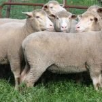 Dohne Merino sheep, about Dohne Merino sheep, Dohne Merino sheep appearance, Dohne Merino sheep breed, Dohne Merino sheep breed info, Dohne Merino sheep breed facts, Dohne Merino sheep care, caring Dohne Merino sheep, Dohne Merino sheep color, Dohne Merino sheep characteristics, Dohne Merino sheep development, Dohne Merino sheep ewes, Dohne Merino sheep facts, Dohne Merino sheep for meat, Dohne Merino sheep for milk, Dohne Merino sheep for wool, Dohne Merino sheep history, Dohne Merino sheep horns, Dohne Merino sheep info, Dohne Merino sheep images, Dohne Merino sheep lambs, Dohne Merino sheep meat, Dohne Merino sheep origin, Dohne Merino sheep photos, Dohne Merino sheep pictures, Dohne Merino sheep rarity, raising Dohne Merino sheep, Dohne Merino sheep rearing, Dohne Merino sheep size, Dohne Merino sheep temperament, Dohne Merino sheep tame, Dohne Merino sheep uses, Dohne Merino sheep varieties, Dohne Merino sheep weight, Dohne Merino sheep wool