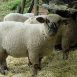 dorset down sheep, about dorset down sheep, dorset down sheep appearance, dorset down sheep breed, dorset down sheep breed info, dorset down sheep breed facts, dorset down sheep care, caring dorset down sheep, dorset down sheep color, dorset down sheep characteristics, dorset down sheep ewes, dorset down sheep facts, dorset down sheep for meat, dorset down sheep for wool, dorset down sheep history, dorset down sheep horns, dorset down sheep info, dorset down sheep images, dorset down sheep lambs, dorset down sheep meat, dorset down sheep origin, dorset down sheep photos, dorset down sheep pictures, dorset down sheep rarity, raising dorset down sheep, dorset down sheep rearing, dorset down sheep size, dorset down sheep temperament, dorset down sheep tame, dorset down sheep uses, dorset down sheep varieties, dorset down sheep weight, dorset down sheep wool, dorset down sheep wool production