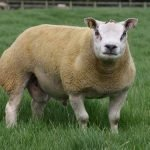 beltex sheep, about beltex sheep, beltex sheep appearance, beltex sheep breed, beltex sheep breed info, beltex sheep breed facts, beltex sheep care, caring beltex sheep, beltex sheep color, beltex sheep characteristics, beltex sheep coat color, beltex sheep development, beltex sheep ewes, beltex sheep facts, beltex sheep for meat, beltex sheep farms, beltex sheep farming, beltex sheep history, beltex sheep horns, beltex sheep info, beltex sheep images, beltex sheep lambs, beltex sheep lambing, beltex sheep meat, beltex sheep origin, beltex sheep photos, beltex sheep pictures, beltex sheep rarity, raising beltex sheep, beltex sheep rearing, beltex sheep size, beltex sheep temperament, beltex sheep tame, beltex sheep uses, beltex sheep varieties, beltex sheep weight, beltex sheep wool