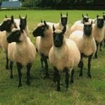 clun forest sheep, about clun forest sheep, clun forest sheep appearance, clun forest sheep breed, clun forest sheep breed info, clun forest sheep breed facts, clun forest sheep development, clun forest sheep ewes, clun forest sheep facts, clun forest sheep for meat, clun forest sheep for milk, clun forest sheep for wool, clun forest sheep history, clun forest sheep horns, clun forest sheep info, clun forest sheep images, clun forest sheep lambs, clun forest sheep meat, clun forest sheep milk, clun forest sheep origin, clun forest sheep photos, clun forest sheep pictures, clun forest sheep rarity, raising clun forest sheep, clun forest sheep rearing, clun forest sheep size, clun forest sheep temperament, clun forest sheep tame, clun forest sheep uses, clun forest sheep varieties, clun forest sheep weight, clun forest sheep wool, clun forest sheep wool production