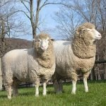 Cormo sheep, about Cormo sheep, Cormo sheep appearance, Cormo sheep breed, Cormo sheep breed info, Cormo sheep breed facts, Cormo sheep care, caring Cormo sheep, Cormo sheep color, Cormo sheep characteristics, Cormo sheep development, Cormo sheep ewes, Cormo sheep facts, Cormo sheep for milk, Cormo sheep for meat, Cormo sheep for wool, Cormo sheep history, Cormo sheep horns, Cormo sheep info, Cormo sheep images, Cormo sheep lambs, Cormo sheep meat, Cormo sheep origin, Cormo sheep milk, Cormo sheep origin, Cormo sheep photos, Cormo sheep pictures, Cormo sheep rarity, raising Cormo sheep, Cormo sheep rearing, Cormo sheep size, Cormo sheep temperament, Cormo sheep uses, Cormo sheep varieties, Cormo sheep weight, Cormo sheep wool