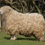 devon longwool, devon longwoolled sheep, about devon longwoolled sheep, devon longwoolled sheep appearance, devon longwoolled sheep breed, devon longwoolled sheep breed info, devon longwoolled sheep breed facts, devon longwoolled sheep behavior, devon longwoolled sheep care, caring devon longwoolled sheep, devon longwoolled sheep color, devon longwoolled sheep characteristics, devon longwoolled sheep coat color, devon longwoolled sheep development, devon longwoolled sheep ewes, devon longwoolled sheep facts, devon longwoolled sheep for meat, devon longwoolled sheep for wool, devon longwoolled sheep history, devon longwoolled sheep horns, devon longwoolled sheep info, devon longwoolled sheep images, devon longwoolled sheep lambs, devon longwoolled sheep meat, devon longwoolled sheep origin, devon longwoolled sheep photos, devon longwoolled sheep pictures, devon longwoolled sheep rarity, raising devon longwoolled sheep, devon longwoolled sheep rearing, devon longwoolled sheep size, devon longwoolled sheep temperament, devon longwoolled sheep tame, devon longwoolled sheep uses, devon longwoolled sheep varieties, devon longwoolled sheep weight, devon longwoolled sheep wool, devon longwoolled sheep wool production