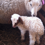 acipayam sheep, about acipayam sheep, acipayam sheep appearance, acipayam sheep breed, acipayam sheep breed info, acipayam sheep behavior, acipayam sheep care, caring acipayam sheep, acipayam sheep color, acipayam sheep characteristics, acipayam sheep development, acipayam sheep ewes, acipayam sheep facts, acipayam sheep for meat, acipayam sheep for wool, acipayam sheep history, acipayam sheep horns, acipayam sheep info, acipayam sheep images, acipayam sheep lambs, acipayam sheep meat, acipayam sheep origin, acipayam sheep photos, acipayam sheep pictures, acipayam sheep rarity, raising acipayam sheep, acipayam sheep rearing, acipayam sheep size, acipayam sheep temperament, acipayam sheep uses, acipayam sheep varieties, acipayam sheep weight, acipayam sheep wool