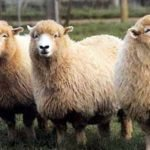 english leicester sheep, about Elliottdale sheep, Elliottdale sheep appearance, Elliottdale sheep breed, Elliottdale sheep breed info, Elliottdale sheep breed facts, Elliottdale sheep care, caring Elliottdale sheep, Elliottdale sheep color, Elliottdale sheep development, Elliottdale sheep ewes, Elliottdale sheep facts, Elliottdale sheep for meat, Elliottdale sheep for wool, Elliottdale sheep history, Elliottdale sheep horns, Elliottdale sheep info, Elliottdale sheep images, Elliottdale sheep lambs, Elliottdale sheep meat, Elliottdale sheep origin, Elliottdale sheep photos, Elliottdale sheep pictures, Elliottdale sheep rarity, Elliottdale sheep rearing, raising Elliottdale sheep, Elliottdale sheep size, Elliottdale sheep temperament, Elliottdale sheep uses, Elliottdale sheep varieties, Elliottdale sheep weight, Elliottdale sheep wool