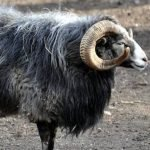 gute sheep, about gute sheep, gute sheep appearance, gute sheep breed, gute sheep breed info, gute sheep breed facts, gute sheep care, caring gute sheep, gute sheep color, gute sheep characteristics, gute sheep ewes, gute sheep facts, gute sheep history, gute sheep horns, gute sheep info, gute sheep images, gute sheep lambs, gute sheep origin, gute sheep photos, gute sheep pictures, gute sheep rarity, raising gute sheep, gute sheep rearing, gute sheep size, gute sheep temperament, gute sheep tame, gute sheep uses, gute sheep varieties, gute sheep weight, gute sheep wool