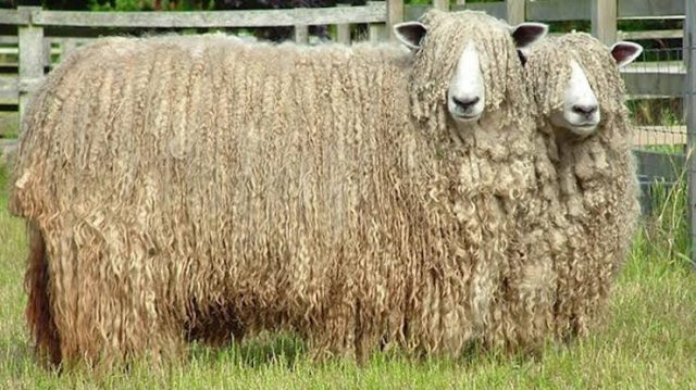 lincoln sheep, about lincoln sheep, lincoln sheep appearance, lincoln sheep breed, lincoln sheep breed info, lincoln sheep breed facts, lincoln sheep care, caring lincoln sheep, lincoln sheep color, lincoln sheep characteristics, lincoln sheep development, lincoln sheep ewes, lincoln sheep facts, lincoln sheep for meat, lincoln sheep for wool, lincoln sheep history, lincoln sheep horns, lincoln sheep info, lincoln sheep images, lincoln sheep lambs, lincoln sheep lambing, lincoln sheep meat, lincoln sheep origin, lincoln sheep photos, lincoln sheep pictures, lincoln sheep rarity, raising lincoln sheep, lincoln sheep rearing, lincoln sheep size, lincoln sheep temperament, lincoln sheep uses, lincoln sheep varieties, lincoln sheep weight