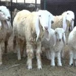 lohi sheep, about lohi sheep, lohi sheep appearance, lohi sheep breed, lohi sheep breed info, lohi sheep breed facts, lohi sheep care, caring lohi sheep, lohi sheep color, lohi sheep characteristics, lohi sheep development, lohi sheep ewes, lohi sheep facts, lohi sheep for meat, lohi sheep for wool, lohi sheep history, lohi sheep horns, lohi sheep info, lohi sheep images, lohi sheep lambs, lohi sheep meat, lohi sheep origin, lohi sheep photos, lohi sheep pictures, lohi sheep rarity, raising lohi sheep, lohi sheep rearing, lohi sheep size, lohi sheep temperament, lohi sheep uses, lohi sheep varieties, lohi sheep weight