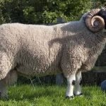 Lonk sheep, about Lonk sheep, Lonk sheep appearance, Lonk sheep breed, Lonk sheep breed info, Lonk sheep breed facts, Lonk sheep breeders, Lonk sheep care, caring Lonk sheep, Lonk sheep characteristics, Lonk sheep coat color, Lonk sheep color patterns, Lonk sheep development, Lonk sheep ewes, Lonk sheep facts, Lonk sheep for meat, Lonk sheep for wool, Lonk sheep for hides, Lonk sheep history, Lonk sheep horns, Lonk sheep info, Lonk sheep images, Lonk sheep lambs, Lonk sheep lambing, Lonk sheep meat, Lonk sheep origin, Lonk sheep photos, Lonk sheep pictures, Lonk sheep rarity, Lonk sheep rearing, raising Lonk sheep, Lonk sheep size, Lonk sheep temperament, Lonk sheep tame, Lonk sheep uses, Lonk sheep varieties, Lonk sheep weight, Lonk sheep wool