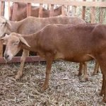 brazilian woolless, deslanado do nordeste, deslanado vermelho, deslanado branco, morada nova sheep, about morada nova sheep, morada nova sheep appearance, morada nova sheep breed, morada nova sheep breed info, morada nova sheep breed facts, morada nova sheep care, caring morada nova sheep, morada nova sheep color, morada nova sheep characteristics, morada nova sheep development, morada nova sheep ewes, morada nova sheep facts, morada nova sheep for meat, morada nova sheep hide, morada nova sheep history, morada nova sheep hide, morada nova sheep info, morada nova sheep images, morada nova sheep lambs, morada nova sheep meat, morada nova sheep origin, morada nova sheep photos, morada nova sheep pictures, morada nova sheep rarity, raising morada nova sheep, morada nova sheep rearing, morada nova sheep size, morada nova sheep temperament, morada nova sheep uses, morada nova sheep varieties, morada nova sheep color varieties, morada nova sheep weight