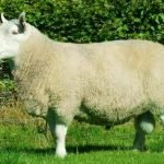 north country cheviot sheep, about north country cheviot sheep, north country cheviot sheep appearance, north country cheviot sheep breed, north country cheviot sheep breed info, north country cheviot sheep breed facts, north country cheviot sheep behavior, north country cheviot sheep care, caring north country cheviot sheep, north country cheviot sheep color, north country cheviot sheep characteristics, north country cheviot sheep development, north country cheviot sheep ewes, north country cheviot sheep facts, north country cheviot sheep for meat, north country cheviot sheep for milk, north country cheviot sheep for wool, north country cheviot sheep farms, north country cheviot sheep farming, north country cheviot sheep history, north country cheviot sheep horns, north country cheviot sheep info, north country cheviot sheep images, north country cheviot sheep lambs, north country cheviot sheep meat, north country cheviot sheep origin, north country cheviot sheep photos, north country cheviot sheep pictures, north country cheviot sheep rarity, raising north country cheviot sheep, north country cheviot sheep rearing, north country cheviot sheep size, north country cheviot sheep temperament, north country cheviot sheep tame, north country cheviot sheep uses, north country cheviot sheep varieties, north country cheviot sheep weight, north country cheviot sheep wool, north country cheviot sheep wool production