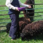 ouessant sheep, about ouessant sheep, ouessant sheep appearance, ouessant sheep breed, ouessant sheep breed info, ouessant sheep breed facts, ouessant sheep care, caring ouessant sheep, ouessant sheep color, ouessant sheep characteristics, ouessant sheep ewes, ouessant sheep facts, ouessant sheep for wool, ouessant sheep history, ouessant sheep horns, ouessant sheep info, ouessant sheep images, ouessant sheep lambs, ouessant sheep meat, ouessant sheep origin, ouessant sheep photos, ouessant sheep pictures, ouessant sheep rarity, ouessant sheep rearing, raising ouessant sheep, ouessant sheep size, ouessant sheep temperament, ouessant sheep tame, ouessant sheep uses, ouessant sheep varieties, ouessant sheep weight