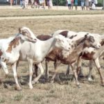 pelibuey sheep, about pelibuey sheep, pelibuey sheep appearance, pelibuey sheep breed, pelibuey sheep breed info, pelibuey sheep behavior, pelibuey sheep breed facts, pelibuey sheep care, caring pelibuey sheep, pelibuey sheep color, pelibuey sheep characteristics, pelibuey sheep coat color, pelibuey sheep color varieties, pelibuey sheep development, pelibuey sheep ewes, pelibuey sheep facts, pelibuey sheep for meat, pelibuey sheep for wool, pelibuey sheep history, pelibuey sheep horns, pelibuey sheep info, pelibuey sheep images, pelibuey sheep lambs, pelibuey sheep meat, pelibuey sheep origin, pelibuey sheep photos, pelibuey sheep pictures, pelibuey sheep rarity, pelibuey sheep rearing, raising pelibuey sheep, pelibuey sheep size, pelibuey sheep temperament, pelibuey sheep tame, pelibuey sheep uses, pelibuey sheep varieties, pelibuey sheep weight