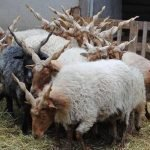 racka sheep, about racka sheep, racka sheep appearance, racka sheep breed, racka sheep breed facts, racka sheep breed info, racka sheep care, caring racka sheep, racka sheep color, racka sheep characteristics, racka sheep ewes, racka sheep facts, racka sheep for milk, racka sheep for meat, racka sheep for wool production, racka sheep for crossbreeding, racka sheep history, racka sheep horns, racka sheep info, racka sheep images, racka sheep lambs, racka sheep meat, racka sheep milk, racka sheep origin, racka sheep photos, racka sheep pictures, racka sheep rarity, raising racka sheep, racka sheep rearing, racka sheep size, racka sheep temperament, racka sheep tame, racka sheep uses, racka sheep varieties, racka sheep color varieties, racka sheep weight