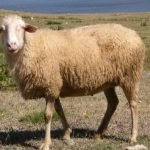 ruda sheep, about ruda sheep, ruda sheep appearance, ruda sheep breed, ruda sheep breed info, ruda sheep care, caring ruda sheep, ruda sheep color, ruda sheep characteristics, ruda sheep coat color, ruda sheep ewes, ruda sheep facts, ruda sheep for wool, ruda sheep history, ruda sheep horns, ruda sheep info, ruda sheep images, ruda sheep lambs, ruda sheep meat, ruda sheep origin, ruda sheep photos, ruda sheep pictures, ruda sheep rarity, ruda sheep rearing, raising ruda sheep, ruda sheep size, ruda sheep temperament, ruda sheep tame, ruda sheep uses, ruda sheep varieties, ruda sheep weight