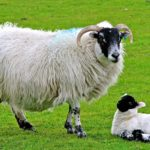 scottish blackface sheep, scottish blackface sheep appearance, about scottish blackface sheep, scottish blackface sheep breed, scottish blackface sheep breed info, scottish blackface sheep breed facts, scottish blackface sheep care, caring scottish blackface sheep, scottish blackface sheep color, scottish blackface sheep characteristics, scottish blackface sheep ewes, scottish blackface sheep facts, scottish blackface sheep for meat, scottish blackface sheep history, scottish blackface sheep horns, scottish blackface sheep info, scottish blackface sheep images, scottish blackface sheep lambs, scottish blackface sheep meat, scottish blackface sheep origin, scottish blackface sheep photos, scottish blackface sheep pictures, scottish blackface sheep rarity, raising scottish blackface sheep, scottish blackface sheep rearing, scottish blackface sheep size, scottish blackface sheep temperament, scottish blackface sheep tame, scottish blackface sheep uses, scottish blackface sheep varieties, scottish blackface sheep weight