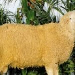 Fabrianese sheep, about Fabrianese sheep, Fabrianese sheep appearance, Fabrianese sheep breed, Fabrianese sheep breed info, Fabrianese sheep breed facts, Fabrianese sheep care, caring Fabrianese sheep, Fabrianese sheep color, Fabrianese sheep characteristics, Fabrianese sheep development, Fabrianese sheep ewes, Fabrianese sheep facts, Fabrianese sheep for milk, Fabrianese sheep for meat, Fabrianese sheep for wool, Fabrianese sheep history, Fabrianese sheep horns, Fabrianese sheep info, Fabrianese sheep images, Fabrianese sheep lambs, Fabrianese sheep meat, Fabrianese sheep origin, Fabrianese sheep milk, Fabrianese sheep origin, Fabrianese sheep photos, Fabrianese sheep pictures, Fabrianese sheep rarity, raising Fabrianese sheep, Fabrianese sheep rearing, Fabrianese sheep size, Fabrianese sheep temperament, Fabrianese sheep uses, Fabrianese sheep varieties, Fabrianese sheep weight, Fabrianese sheep wool