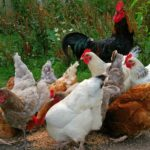 What to feed Chickens at different ages