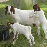 Boer goats good mothers