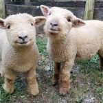 Baby Sheep Called