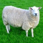 Female Sheep Called