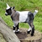 How big do Pygmy goats get