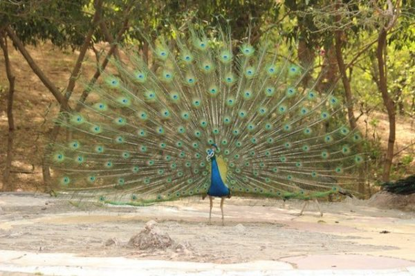 peacocks, peacock farming, peacock picture, photo of peacock, raising peacock, peacock rearing