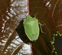 Stink bugs green