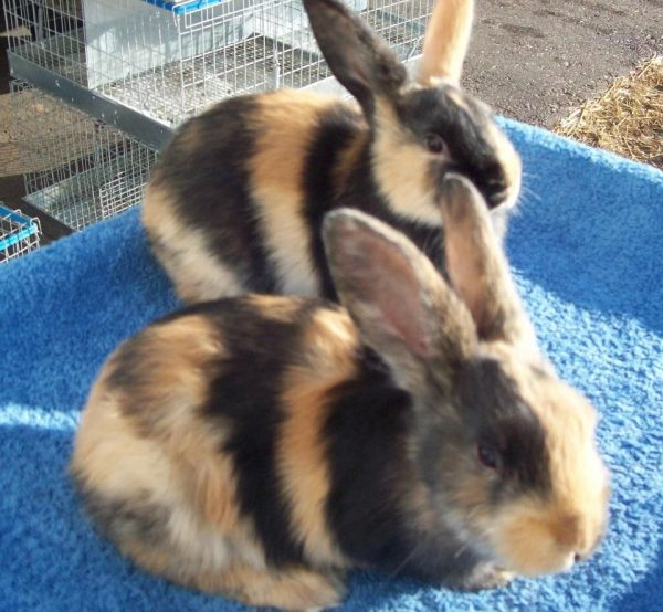harlequin rabbit, harlequin rabbits, harlequin rabbit breed, harlequin rabbit behavior, harlequin rabbit breed info, harlequin rabbit care, harlequin rabbit characteristics, harlequin rabbit colors, harlequin rabbit for meat, harlequin rabbit facts, harlequin rabbit history, harlequin rabbit info, harlequin rabbit information, harlequin rabbit images, harlequin rabbit lifespan, harlequin rabbit meat, harlequin rabbit origin, harlequin rabbit personality, harlequin rabbit pictures, harlequin rabbit photos, harlequin rabbit size, harlequin rabbit temperament, harlequin rabbit uses, about harlequin rabbit