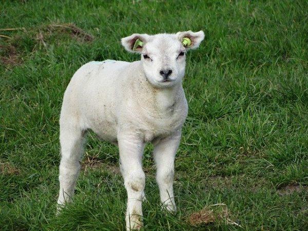 texel sheep characteristics