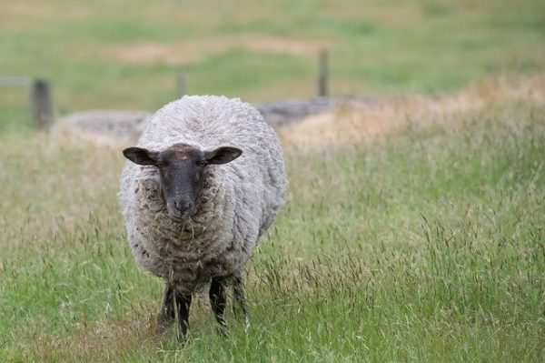 Suffolk sheep known for