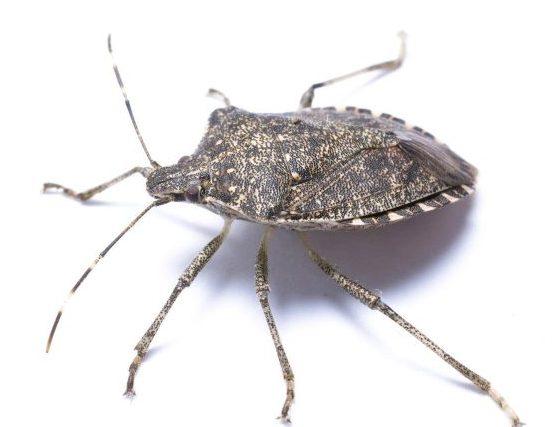 Stink Bug Repellents