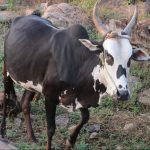 alambadi cattle, alambadi cow, alambadi cattle bull, alambadi cattle breed, alambadi cattle characteristics, alambadi cattle color, alambadi cattle photo, alambadi cattle facts, alambadi cattle info