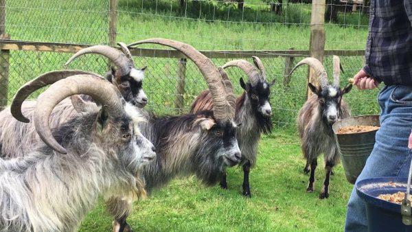 irish goat, irish goats, irish goat breed, irish goat behavior, irish goat color, irish goat color varieties, irish goat characteristics, irish goat coat color, irish goat facts, irish goat for meat, irish goat for milk, irish goat history, irish goat images, irish goat info, irish goat information, irish goat meat, irish goat milk, irish goat origin, irish goat picture, irish goat personality, irish goat photos, raising irish goat, irish goat size, irish goat uses, irish goat varieties, irish goat weight
